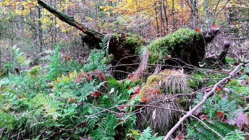 Lasowego pustkowia Stary drzewo mech zakorzenia drzewa zdjęcie stock