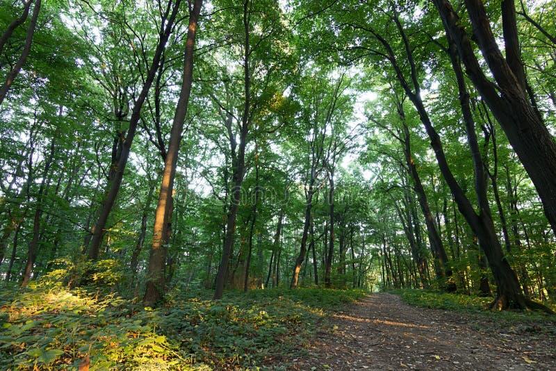 Lasowej ścieżki lata las z zielenią Leafs droga przemian przez lat lasowych drzew drewien Światło słoneczne W Lasowej lato naturz obrazy royalty free