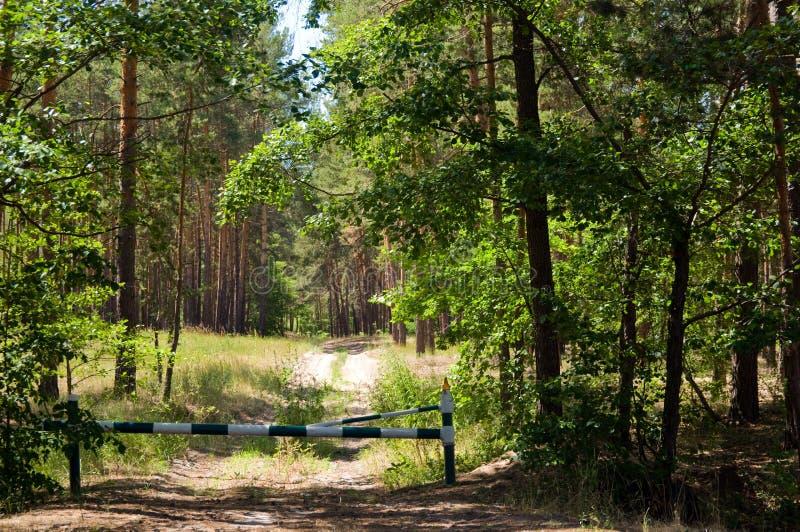 lasowej ścieżki sosna zdjęcie royalty free