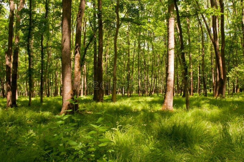 lasowej zieleni bujny zdjęcia royalty free