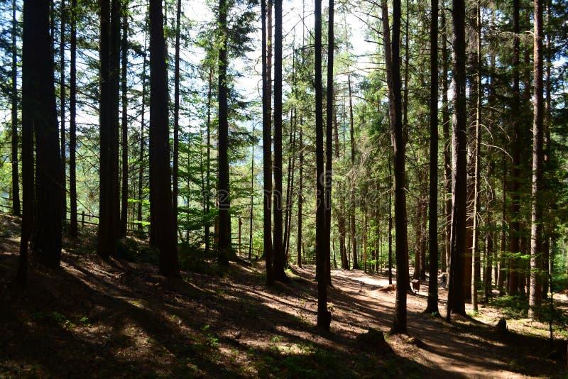 lasowej zieleni drzewa zdjęcia stock