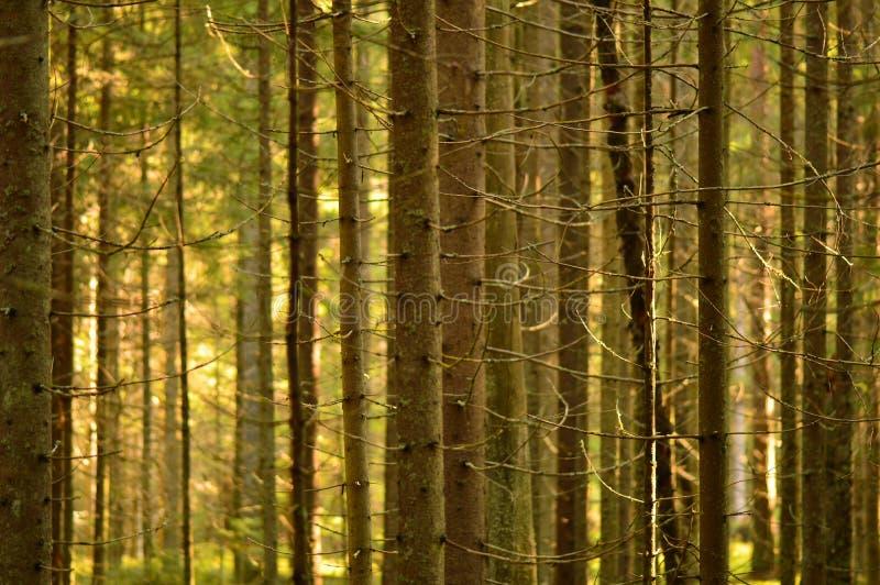 Lasowi bagażniki świerkowi drzewa w ranku świetle słonecznym fotografia royalty free