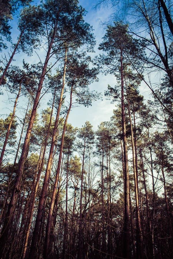 Lasowi drzewa, natury niebieskiego nieba drewniany tło zdjęcie stock