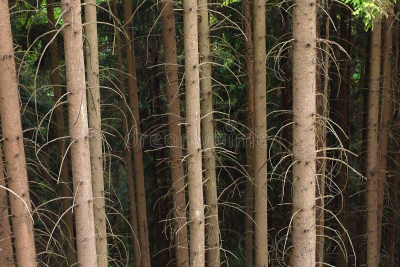 Lasowi drzewni bagażniki obraz royalty free