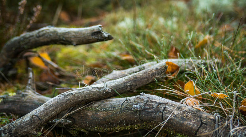 Lasowi kije fotografia royalty free