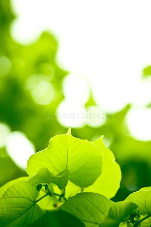 lasowi liść obraz stock