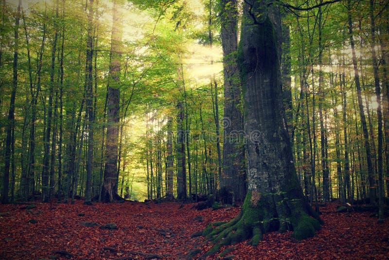 Download Lasowi promienie obraz stock. Obraz złożonej z drzewo - 28962125