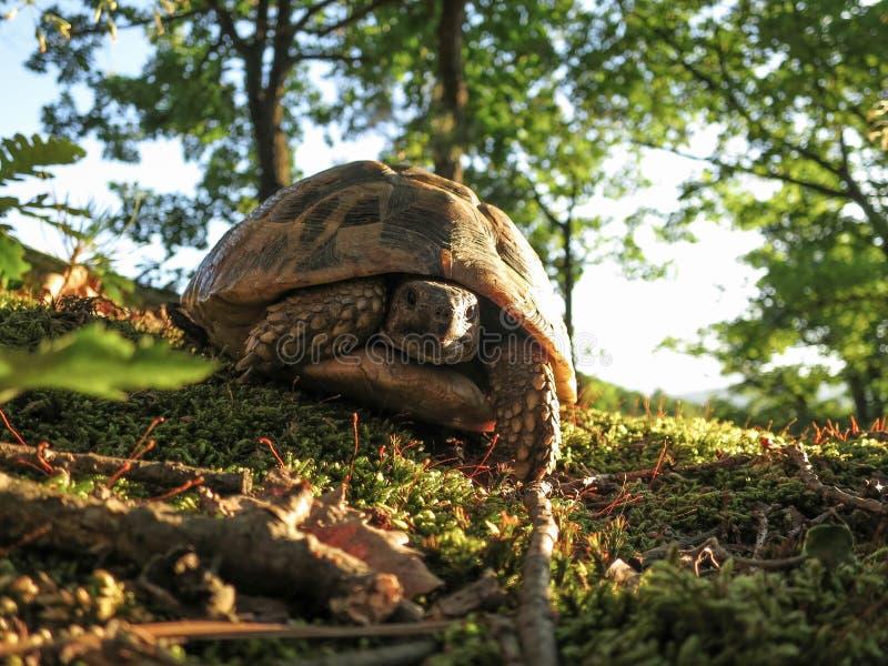 Lasowy żółw fotografia royalty free