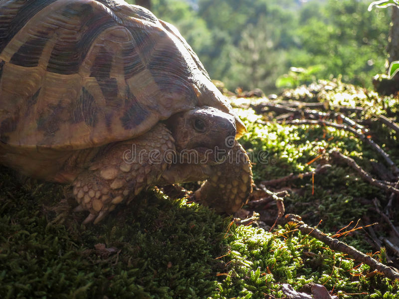 Lasowy żółw zdjęcia stock