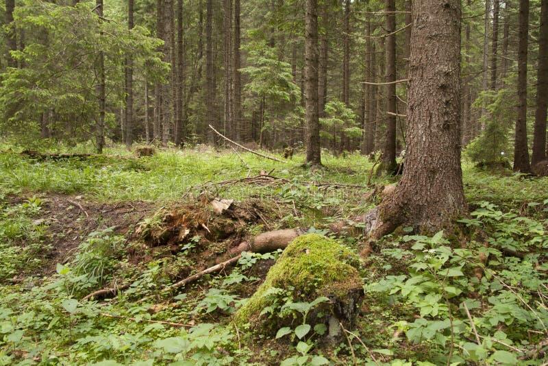 Lasowy Azuga zdjęcia stock