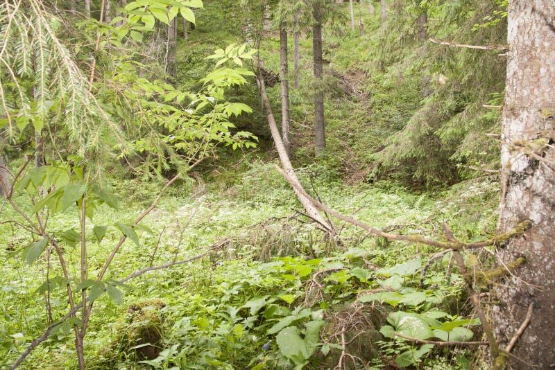 Lasowy Azuga zdjęcie royalty free