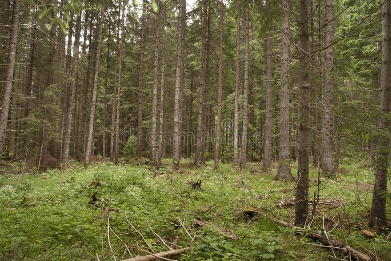 Lasowy Azuga fotografia stock