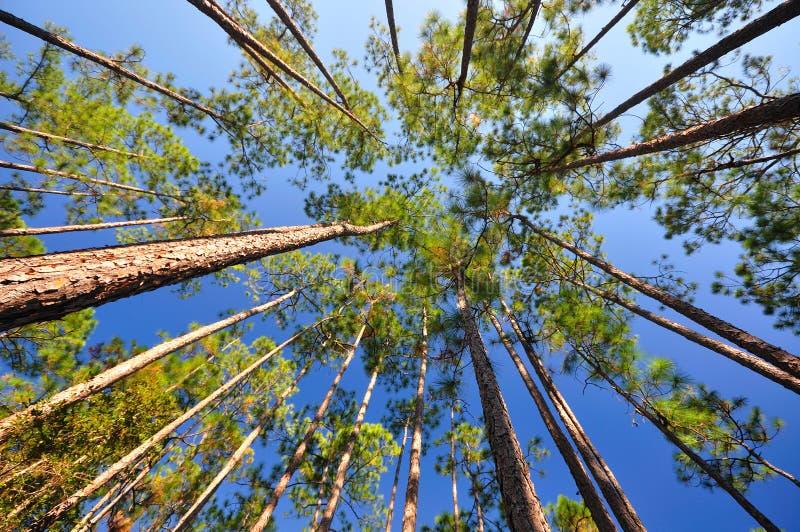 lasowy baldachimu liść tęsk sosna zdjęcia royalty free