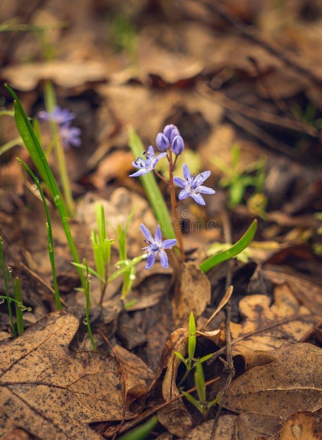 Lasowy Bluebell błękit Pełen wdzięku delikatny kwiat obraz royalty free