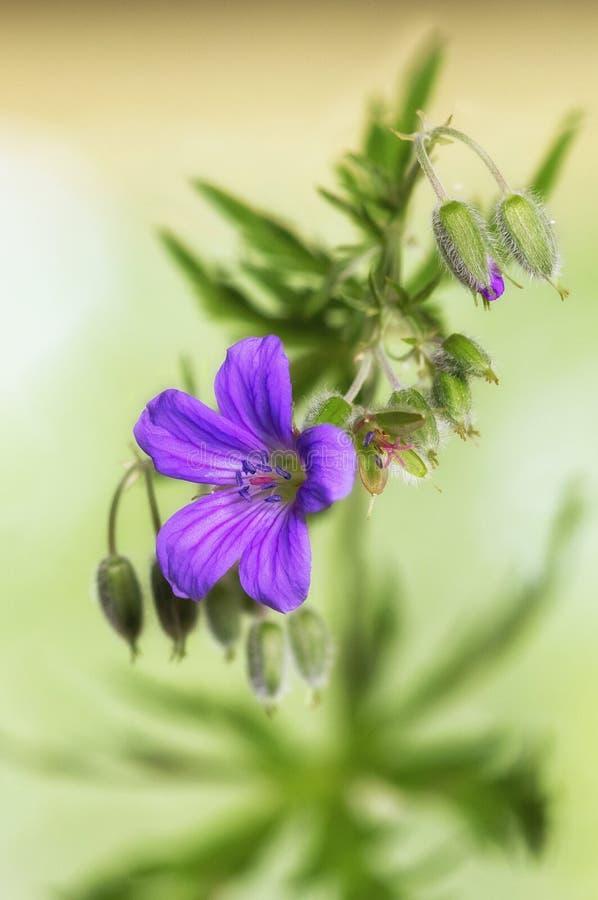Lasowy bodziszka kwiat z pączkami zdjęcia stock