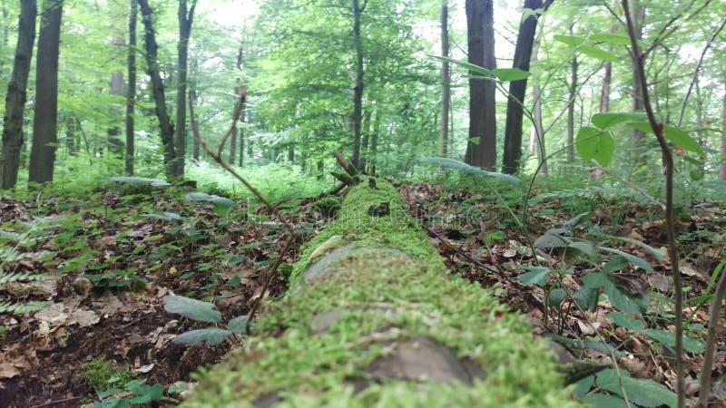 Lasowy drzewo fotografia stock