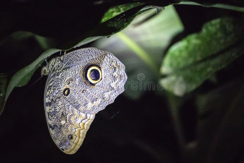 Lasowy Gigantyczny sowa motyl, Caligo eurilochus, sowa motyl znać dla ich ogromnych eyespots które przypominają sów oczy, obraz stock