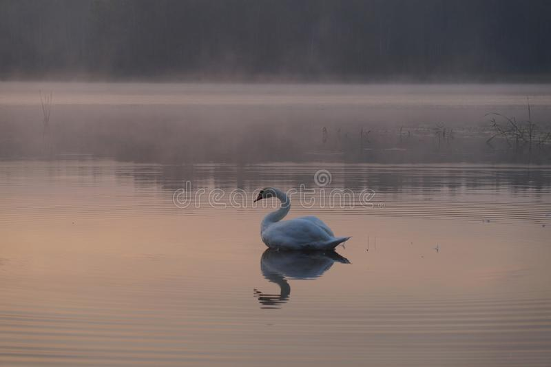 Lasowy jezioro na wschód słońca Lato Łabędź obrazy royalty free