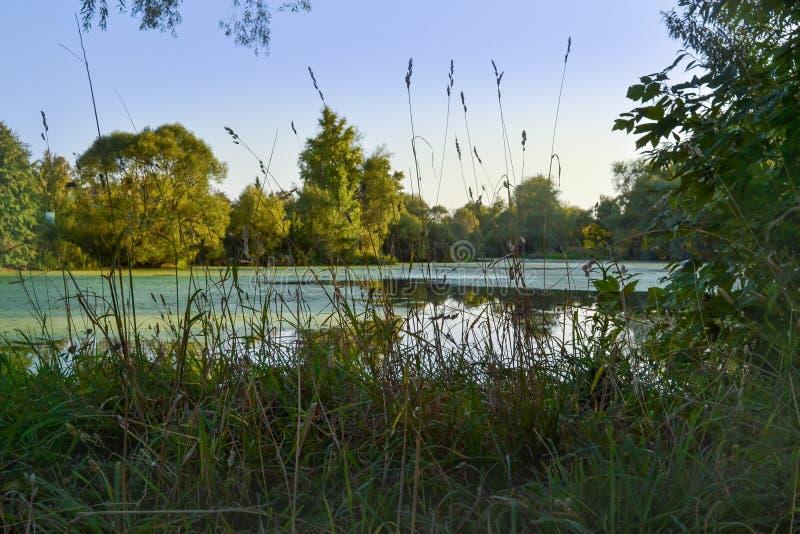 Lasowy jezioro przerastający z duckweed Drzewa i trawa wzdłuż brzeg jezioro zdjęcie royalty free