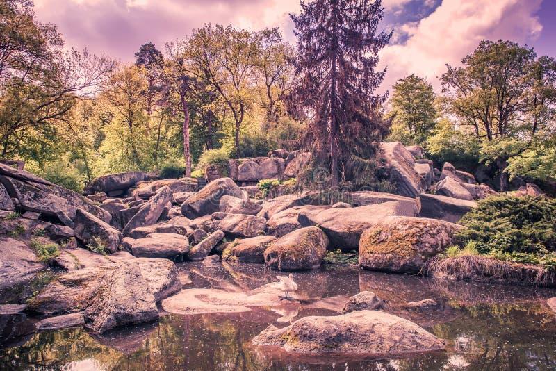 Lasowy jezioro z białym łabędź obrazy stock