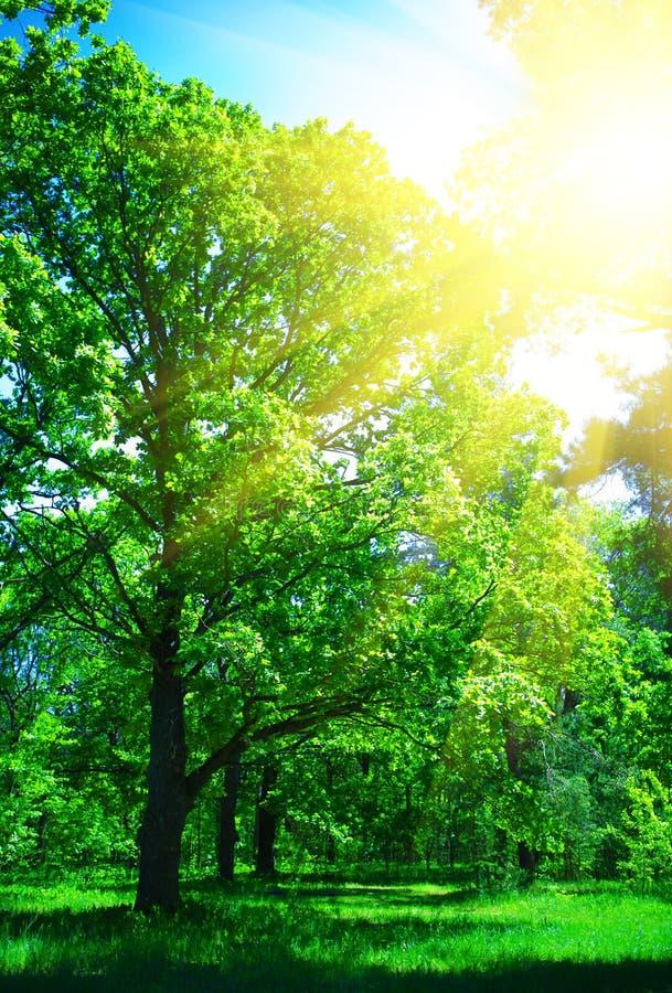 lasowy lato obrazy stock