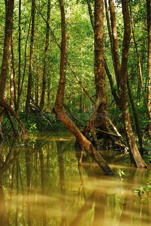 lasowy mangrowe fotografia stock