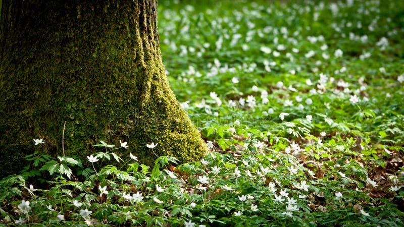 lasowy mechaty stary drzewny windflower obraz stock