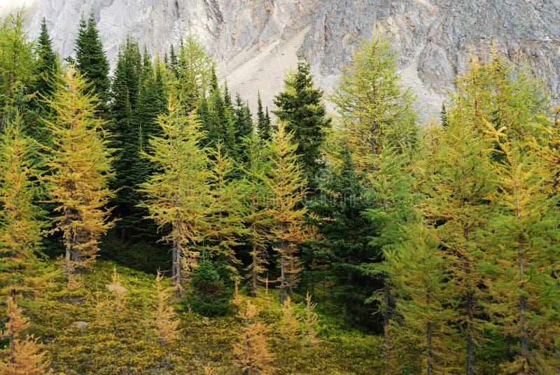 lasowy modrzew zdjęcie royalty free