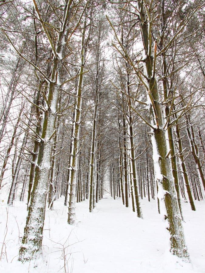 lasowy opad śniegu obraz stock