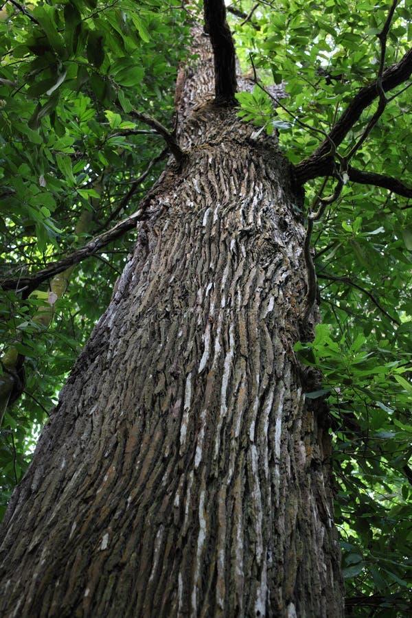 lasowy podeszczowy drzewo zdjęcia royalty free