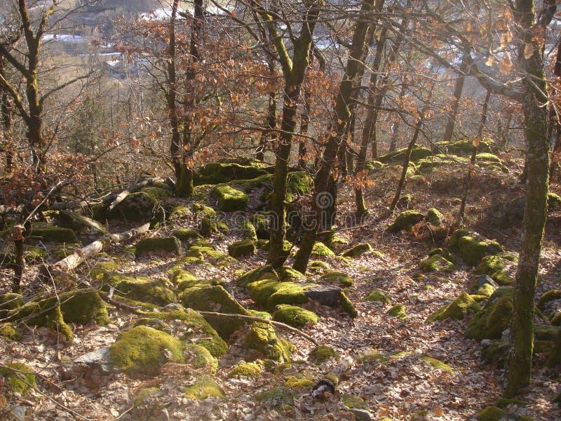 Lasowy Romeric obrazy royalty free