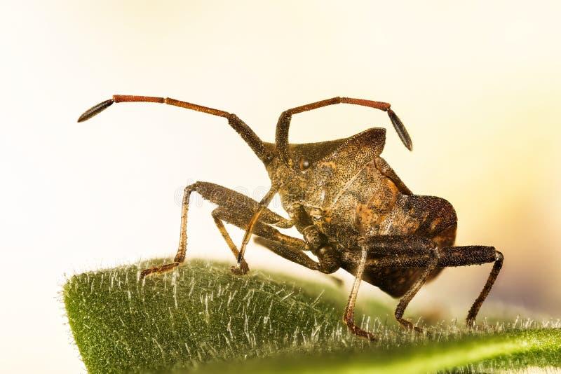 Lasowy Shieldbug, Czerwononogi Shieldbug, Lasowa pluskwa, Pentatoma rufipes fotografia royalty free