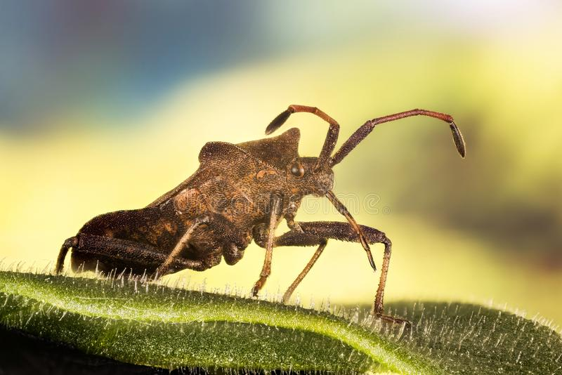 Lasowy Shieldbug, Czerwononogi Shieldbug, Lasowa pluskwa, Pentatoma rufipes obraz royalty free