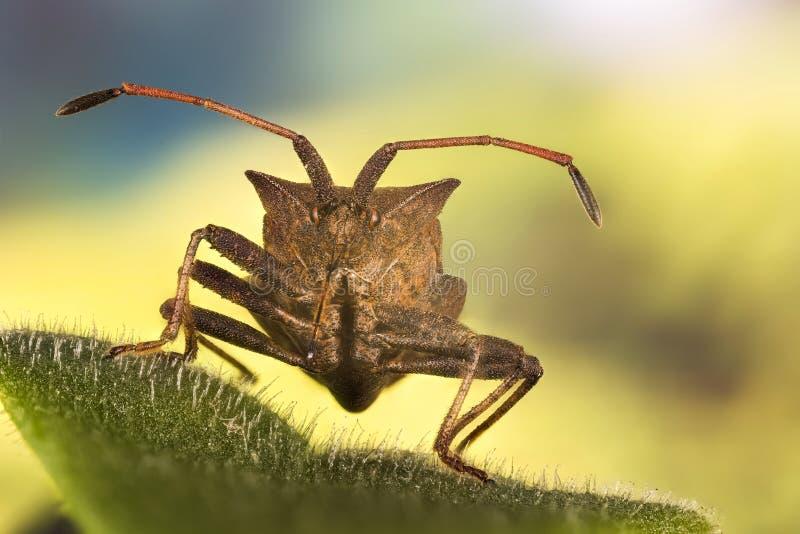 Lasowy Shieldbug, Czerwononogi Shieldbug, Lasowa pluskwa, Pentatoma rufipes zdjęcie stock
