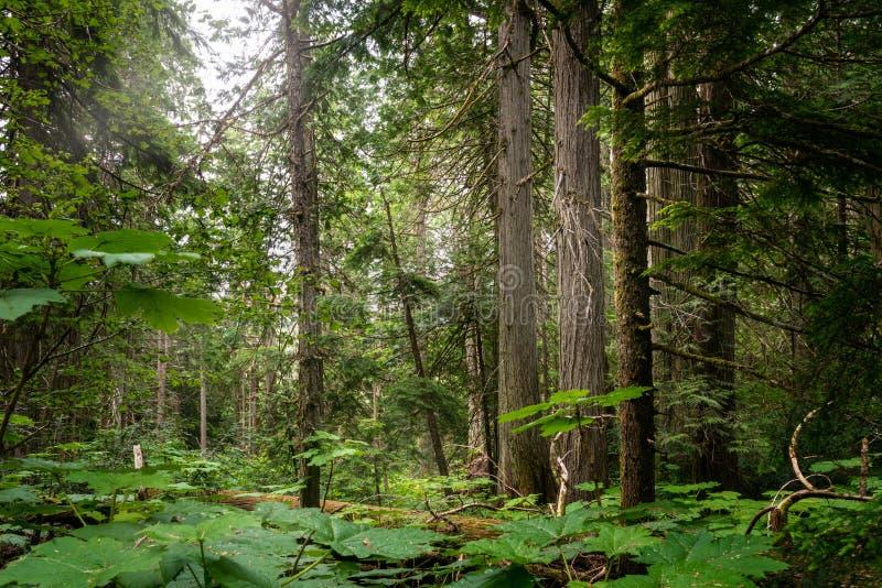 lasowy sosnowy lato obraz stock