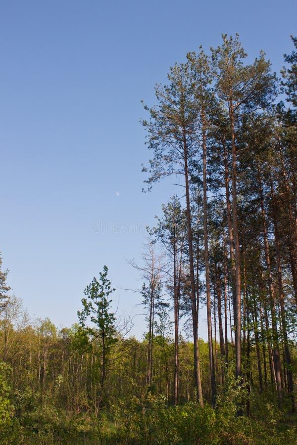 lasowy sosnowy wysoki zdjęcie royalty free