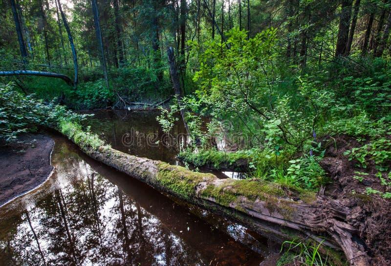Lasowy strumień i karpy zdjęcia stock