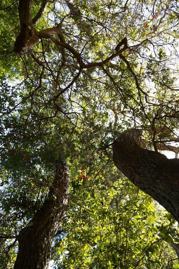 Lasowy ulistnienie fotografia royalty free