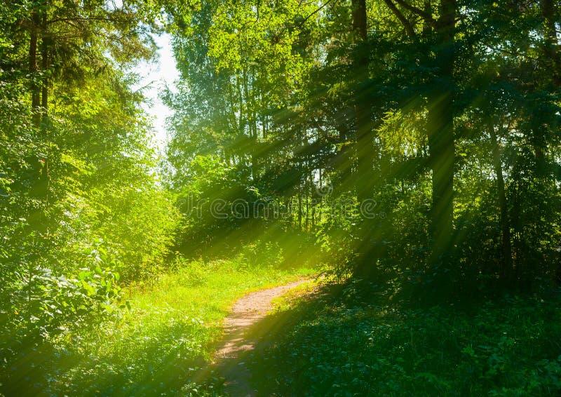 Lasowy wiosna krajobraz - lasowi drzewa z trawą na przedpolu i światła słonecznego jaśnieniem przez lasowych drzew obrazy stock