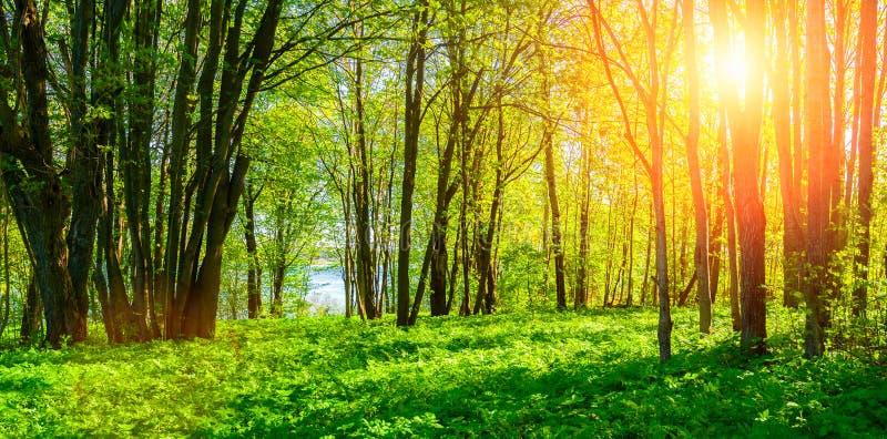 Lasowy wiosna krajobraz - lasowi drzewa z trawą na przedpolu i światła słonecznego jaśnieniem przez lasowych drzew zdjęcie royalty free