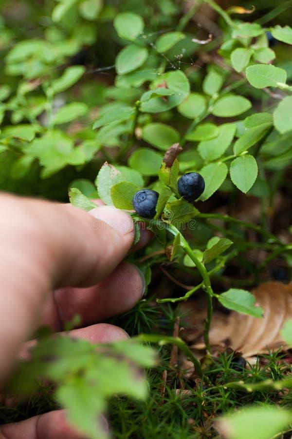 Lasowy wyśmienicie czarna jagoda krzak, dzika borówka obraz royalty free