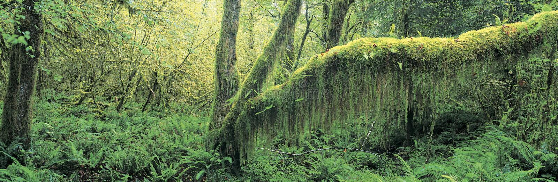 lasowy wzrostowy stary obraz royalty free
