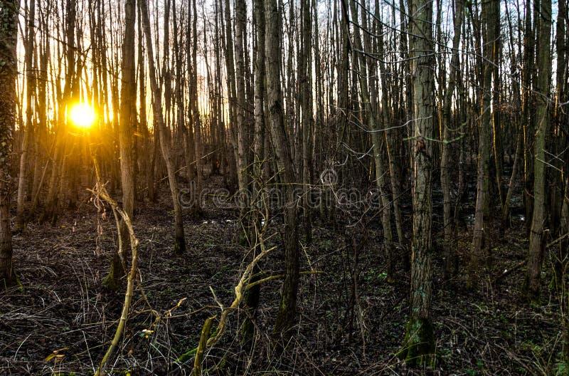 Lasowy zmierzch w wschodnim Flanders fotografia stock