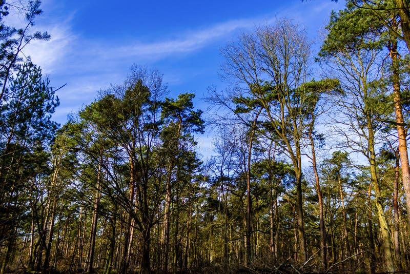 Lasowych drzew niebieskie niebo fotografia stock
