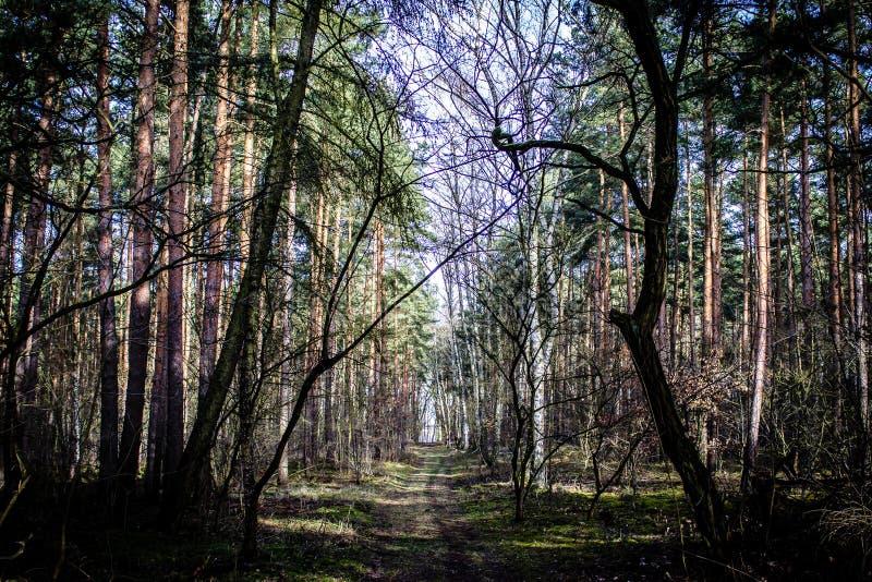 Lasowych drzew tło z ścieżką fotografia royalty free