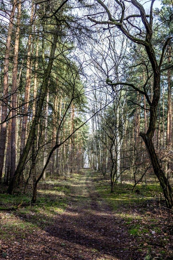 Lasowych drzew tło z ścieżką obraz royalty free