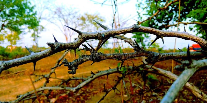 Lasowych roślina tronów akcyjna fotografia zdjęcia royalty free