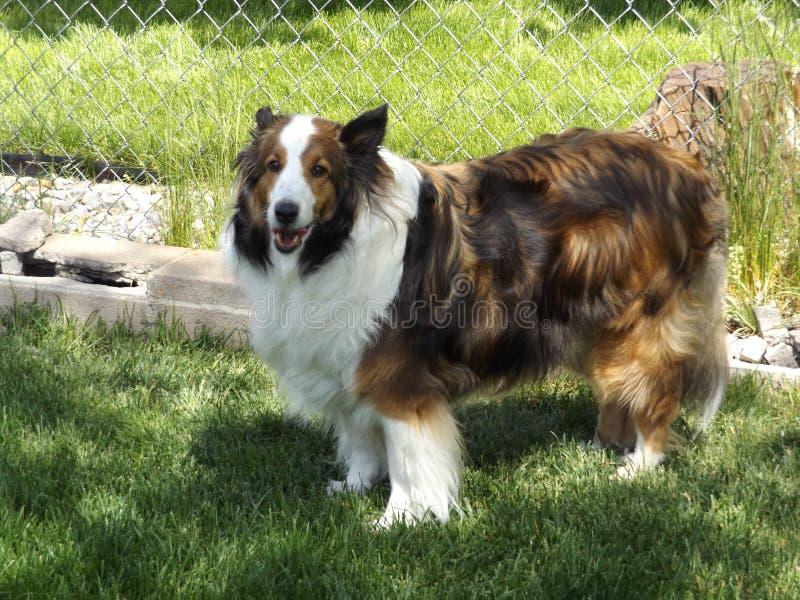 Lassie, κανένα αυτό ` s Maggie το Sheltie στοκ φωτογραφία