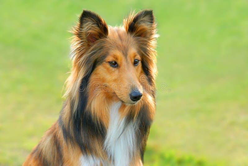 lassie στοκ εικόνα με δικαίωμα ελεύθερης χρήσης