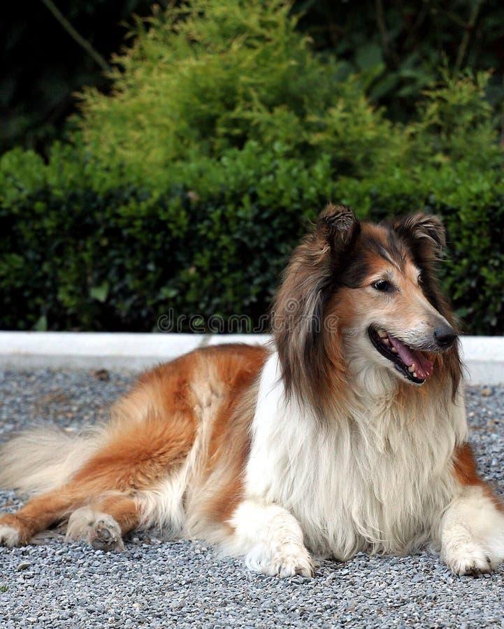 lassie στοκ φωτογραφία με δικαίωμα ελεύθερης χρήσης